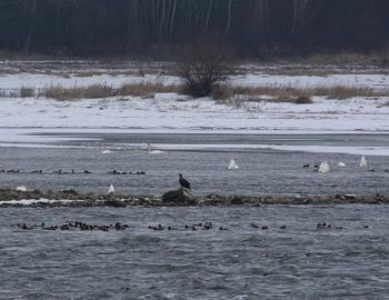Konkurencja o ryby na Wiśle w dniu 15 stycznia 2017 r.